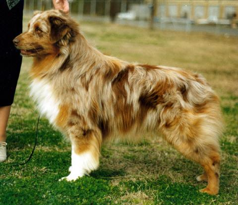 AKC/ASCA Ch. Red Heat of Adelaide